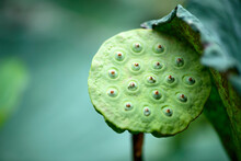 Pod Of Lotus Flower