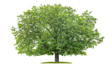Freigestellter Walnussbaum Vor Weißem Hintergrund