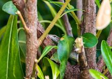 Lizard Hidden In The Branches Look In Camera.