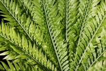 Close Up Of Green Fern Leaves