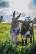 canvas print picture - Junge Esel auf der Weide