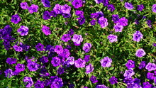 Kalibrahoa Purple Beautiful Flowers Flowerbed Plant Summer Is Sunny