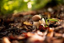 White Mushrooms In The Woods, On A Background Of Leaves, Bright Sunlight. Boletus. Mushroom