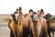 Camels In The Eurasian Steppe, Kazakhstan
