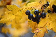 Forest Black Berries Among Dry Yellow Leaves On Blurry Autumn Background. Berries In Forest On Branches Of Tree