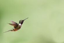 Selective Focus Of A Flying Hummingbird Against A Green Blurry Background