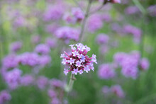 Verbena Flower Cluster Close Up