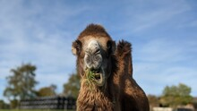 Camel Eating Grass And Resting