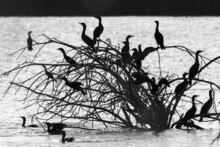 Grayscale Shot Of Black Shags Perched On A Tree By The Lake