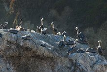 Great Colony Of Pelicans On A Cliff Top At Sunset, California