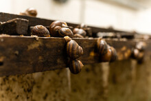 Close-up Farm For Snails Growing.