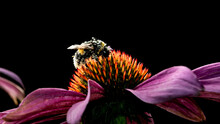 A Bumblebee Covered With Pollen On A Bright Orange-purple Coneflower With Backlight. Blurred Black Background