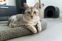 Funny Beautiful Bengal Cat Lying In His Crib. Silver Spotted Kitten Stock Photo. Close Up