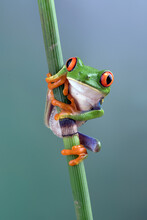 Red-eyed Tree Frog Hanging On Bamboo Tree