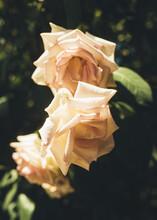 Glowing White Rose