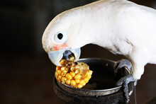 Feeding White Parrots With Yellow Corn, Pet Care For Humans.