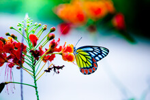 Jezebel Butterfly Or (Delias Eucharis) Resting On The Royal Poinciana Flower Plant In A Soft Green Background