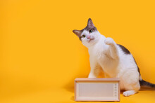 White Short Hair Cats Are Looking Up And Playing With Vintage Loudspeakers. Yellow Studio Background.
