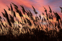 Reeds Silhouettes In The Wind At Sunset