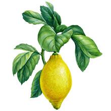 Blooming Lemon Branches On Isolated White Background, Watercolor Illustration, Lemon Fruit