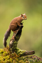 Red Squirrel On A Tree Stump With Green Background.