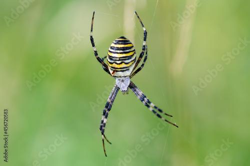 Fototapeta Argiope bruennichi (wasp spider) on web, invasive species of orb-web spider dist