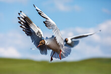 Two Black-headed Bird Is Flying.The Graceful Posture Of The Bird In Mid Air.