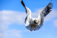 A Black-headed Gull Flying In The Blue Sky.The Graceful Posture Of The Bird In Mid Air.