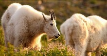 Mountain Goat (Oreamnos Americanus), Also Known As The Rocky Mountain Goat, Is A Hoofed Mammal Endemic To North America. A Subalpine To Alpine Species, It Is A Sure-footed Climber.