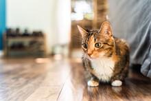 House Cat On Wood Floor
