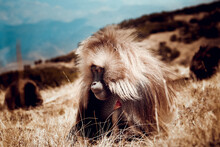 Baboon In Ethiopia