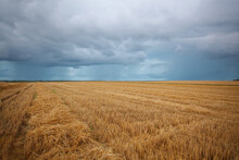 Cereal Field After Harvest In The Summer