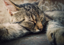 Sleeping Cat Close-up Portrait. Cute Brown Striped Kitten Take A Nap. Lovely And Lazy Tomcat Resting, Lay With Closed Eyes