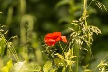 Lonely Poppy In A Green Field
