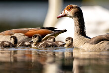 Egyptian Goose Chicks Swimming In A Little Pond In Cologne, Germany At A Sunny Day In Summer.