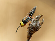 Wasp With Big Yellow Eyes. Family Crabronidae. Genus Tachysphex.