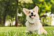 Funny young little welsh corgi dog on the walk with owner, playing and sitting on the green grass in park outdoors. Pet dog good boy relaxing on the ground.