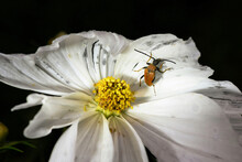 Brown And Black Bee On White Flower Photo