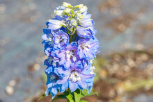 """Close Up On The Flower Of Delphinium X Cultorum """"Magic Fountain Sky Blue White Bee"""". All Members Of The Genus Delphinium Are Toxic To Humans And Livestock."""