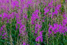 Purple Beautiful Flowers In Greenery, Epilobium Angustifolium