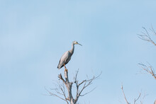 White Faced Heron Perched On A Tree Branch