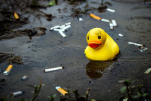 Weathered Rubber Duck In Cigarette Butt Filled Puddle