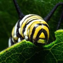 """Monarch Devouring Its Host Plant"" - Monarch Caterpillar - Nebraska, USA"