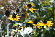 Rudbeckia Hirta, Commonly Called Black-eyed Susan
