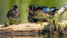 Male And Female Wood Ducks On A Pond