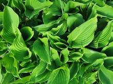 Sharp Matte Green Hosta Leaves, Top View, In The Botanical Garden Of St. Petersburg.