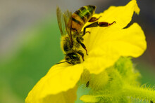 Bee On A Cucumber Flower