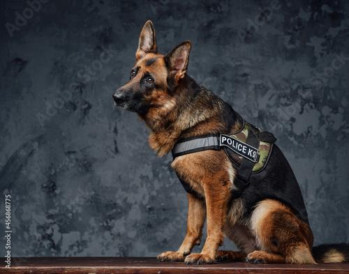 Fototapeta Police german shepherd dressed in police uniform