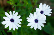 Osteospermum - White Chamomile Flowers With A Purple Middle On A Green Background Of The Garden.