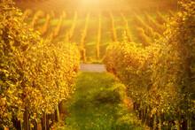 Vineyards Row In Slovenia